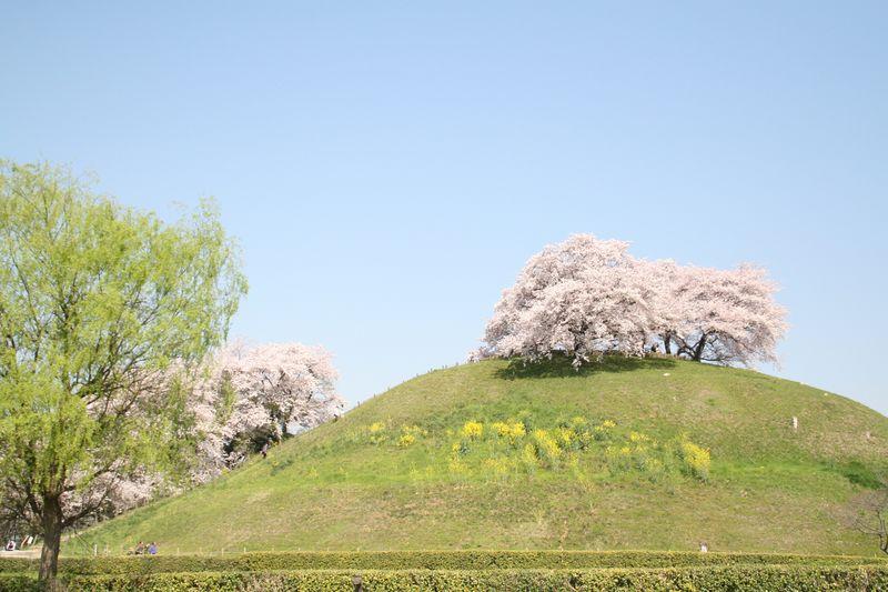 埼玉桜gyouda